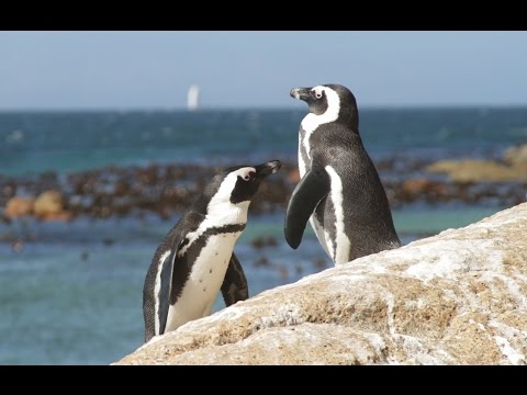 African Penguins - South Africa