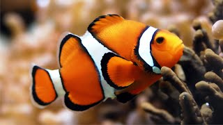 Рыба-клоун Amphiprion
