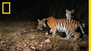 Watch  Extremely Rare Tigers Caught On Camera In Thailand | National Geographic