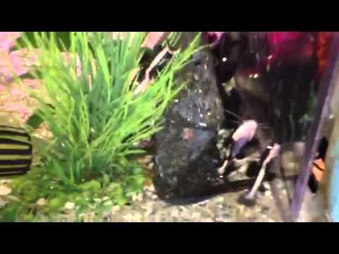 Freshwater Fish For Sale: Redtail Catfish