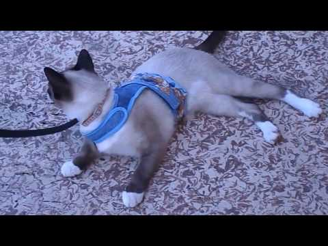 Leash Training Ono, My Siamese Cat