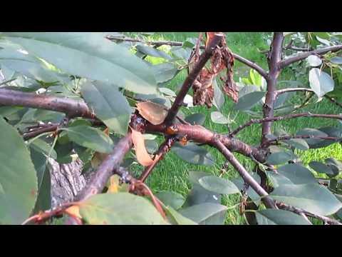 Отсыхает ветка на вишне, как лечить. | монилиальный | отсыхает | монилиоз | болезни | лечить | дерево | борьбы | вишня | вишню | вишни