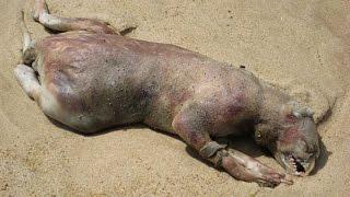 5 Морских ЧУДОВИЩ, выброшенных на берег(5 Морских ЧУДОВИЩ, выброшенных на берег Каждый год на пляжах любой страны находят странных животных, чаще..., 2015-03-29T10:00:01.000Z)