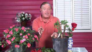 Growing Roses : Transplant Rose Cuttings