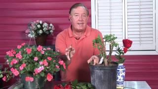 Growing Roses : Transplant Rose Cuttings