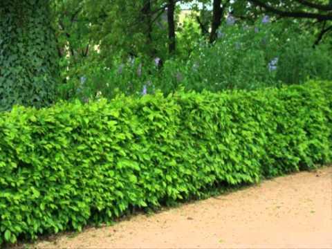 ขายต้นโมกราคาถูก ขายต้นไม้ ประดับ