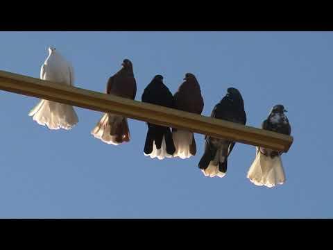 голуби Мариуполя во Фролово