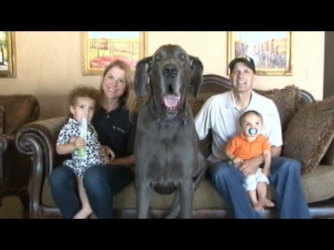 download Giant George the Great Dane: World's Tallest Dog an Oprah guest! | Good Morning America | ABC News