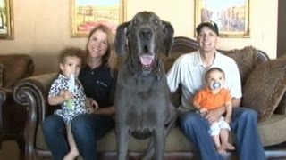 Giant George the Great Dane_ World's Tallest Dog Tackles Facebook, YouTube and Even Oprah!