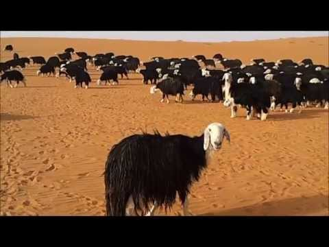 رحله استكشاف النعام العربي في الدهناء الجزء 1