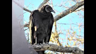 Black Vultures & Turkey Buzzards
