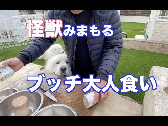 ぜいたくにブッチを大人食い グレートピレニーズ&MIX犬