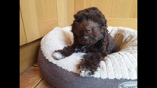 Bumi the 12 week old Cockapoo - 5 Weeks Residential Dog Training