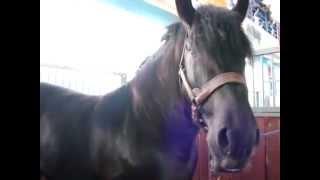 В Беларуси живет огромный конь - один из самых завидных женихов Европы