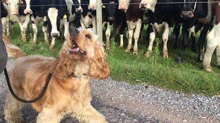 Alfie -  Cocker Spaniel - 3 Weeks Residential Dog Training