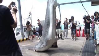 20140718 石垣島でイタチザメ駆除