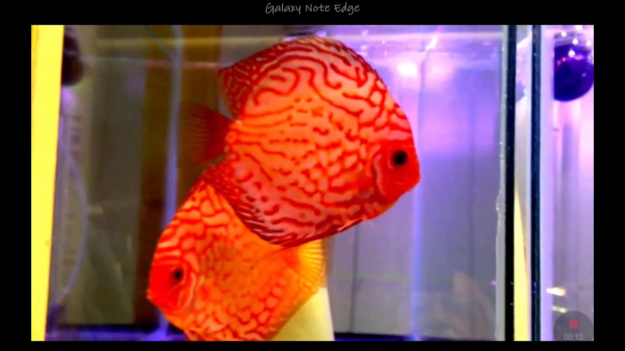 Discus Red Pigeon nice fish - YouTube