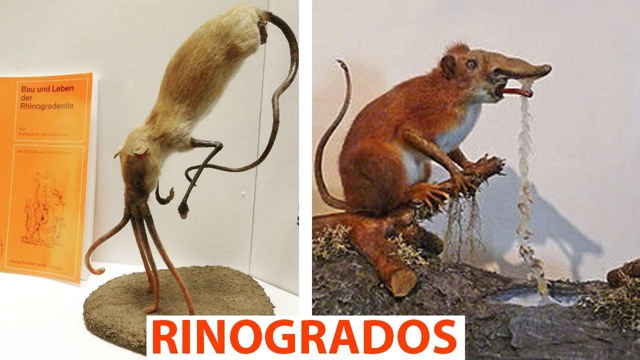 Estos seres desafían la Biología | Rhinogrades | ft. The Biologist Apprentice