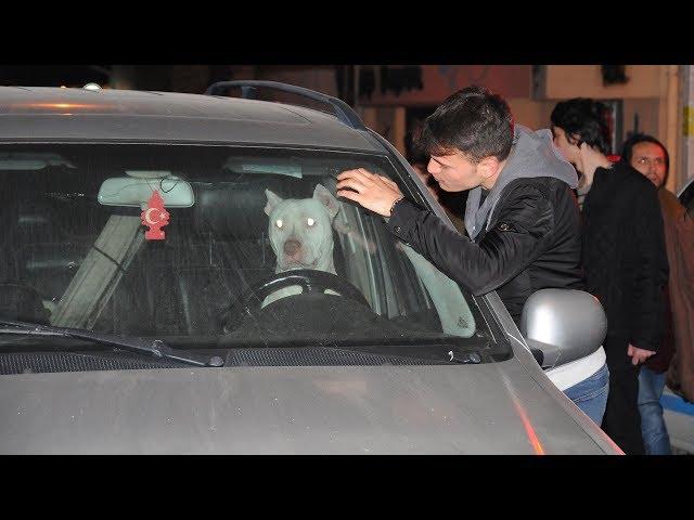 Türkiye'ye getirilmesi yasak olan 'Dogo Arjantin' cinsi köpek, cipte 12 saat mahsur kaldı