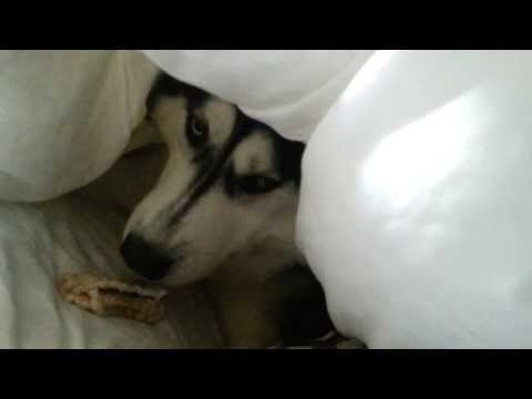 Siberian Husky Angry on Owner- Husky Attack