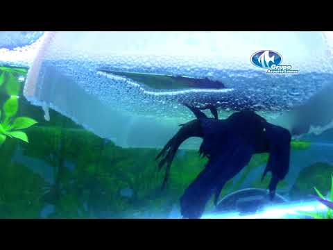 Reproducción de peces Bettas