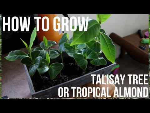 How To Grow Talisay Tree (Terminalia Catappa) Part 1
