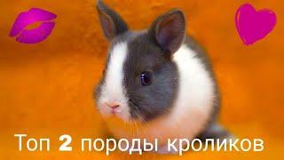 Топ-2 породы декоративных кроликов