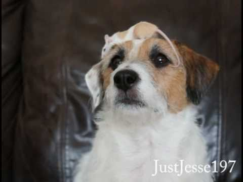 The Mouse Balancing Jack Russell Terrier: Jesse