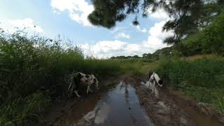 Perros tomando agua en un charco