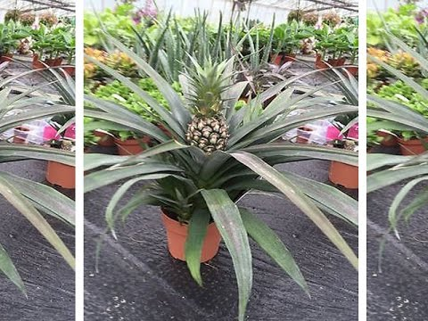 how to grow pineapple plant in a pot not seeds link