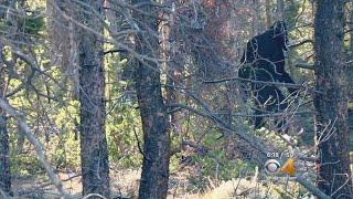 Bigfoot Spotted Near Leadville