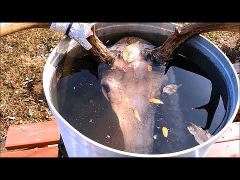HOW TO BOIL A DEER SKULL