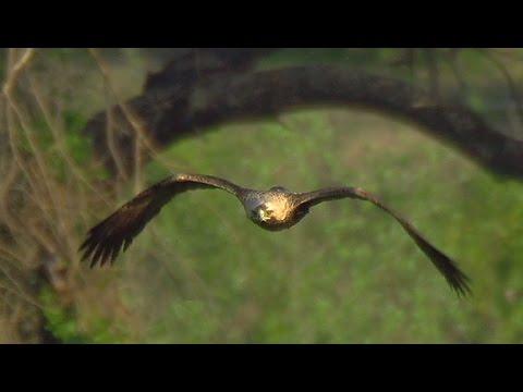 Imperial eagle (Aquila heliaca): two nests