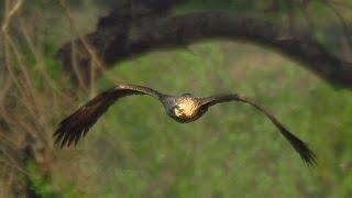 Могильник (Aquila heliaca) - Eastern imperial eagle