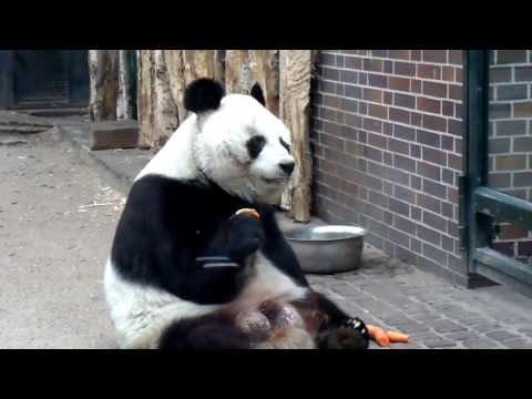 Großer Panda Bao Bao (Berlin hauptstadt zoo)