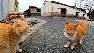 【猫の喧嘩】遠くから威嚇しあう野良猫