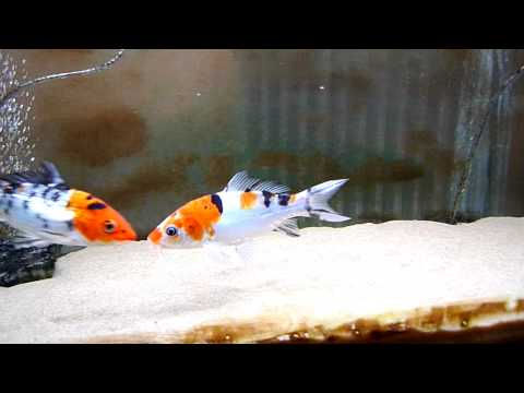Koi fish aquarium in hd youtube for Coy fish tank