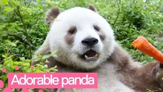 Meet the Only Living Panda with Brown and White Fur