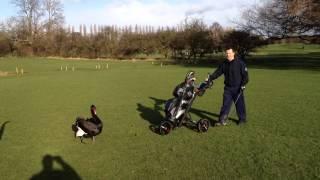 Golf Swan attack