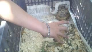 Уборка у черепахи