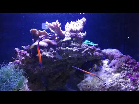 Janss' Pipefish Pair Snicking Apocyclops