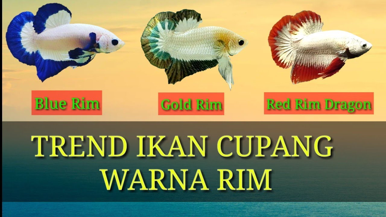 Ikan Cupang Blue Rim Gold Rim Red Rim Youtube