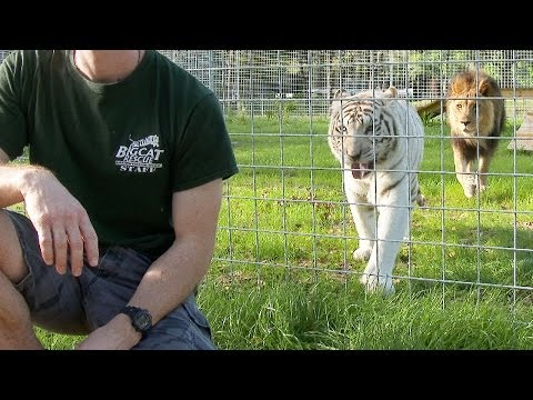 Thumbnail: Never Turn Your Back on BIG CATS!