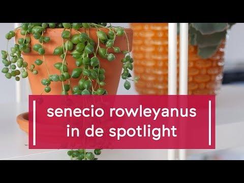 Plant Spotlight: Erwtenplantje, String of Pearls, Senecio rowleyanus