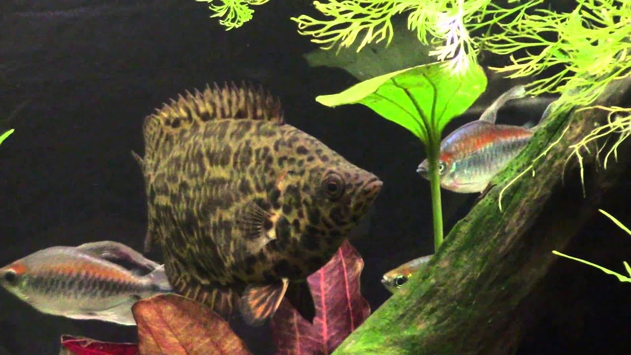 Ctenopoma Acutirostre African Spotted Leaf Fish