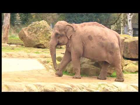 Twycross Zoo is moving its elephants to Blackpool