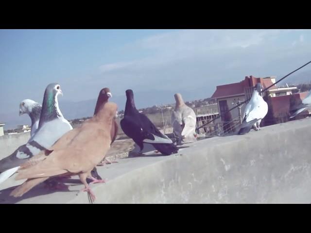 pakistan pigeons fancy - VidInfo