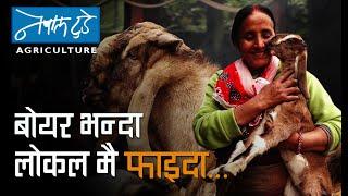 बोयरभन्दा लोकलमै फाइदा... [ The Nepal Today ] Agriculture in Nepal