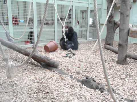 Gorilla Love and Bum Sniffing at London Zoo