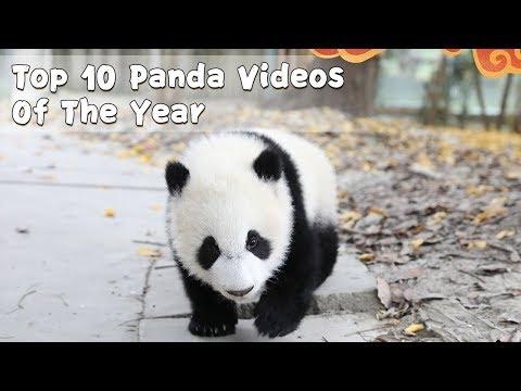 Top 10 Panda Videos Of The Year | iPanda